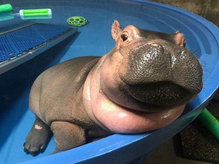 Baby Hippo Fiona 2