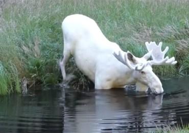 rare white moose