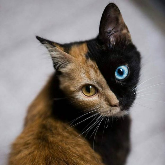 This 'Chimera' Kitten Is Probably The Cutest Accident That Ever Happened To Nature.3