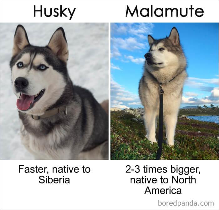 2. Husky vs Malamute