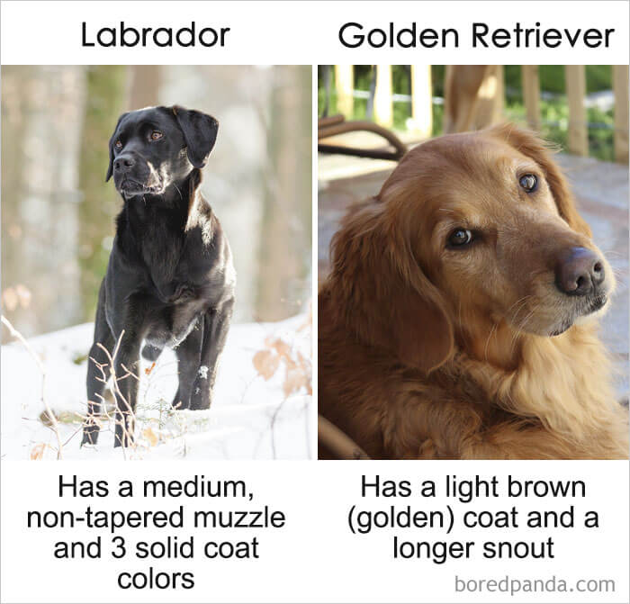 23. Labrador vs Golden Retriever