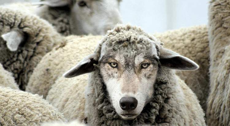 A Wolf in Sheep's Clothing?