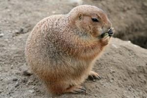 Fat rodent eating CC0 Vargasz