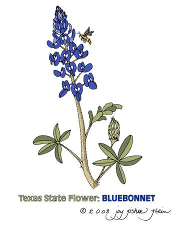 bluebonnet coloring page bluebonnet clip art jpeg