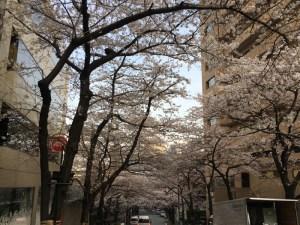 リュックを背負って桜と買い物 早朝4kmラン!! [ランログ]