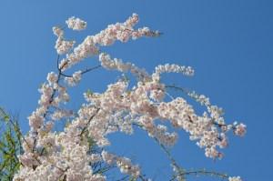 桜を追い掛けて 長野への旅に出ました [2016年4月 長野旅行記 1]