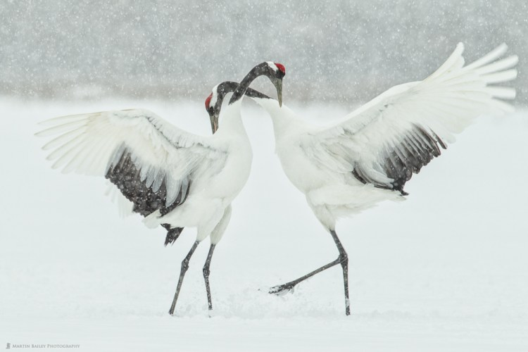 Japanese Red-Crowned Cranes doing a mating or kyuuai dance.