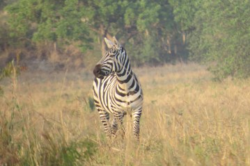 Tugende Together - Zebra Kidepo Valley National Park