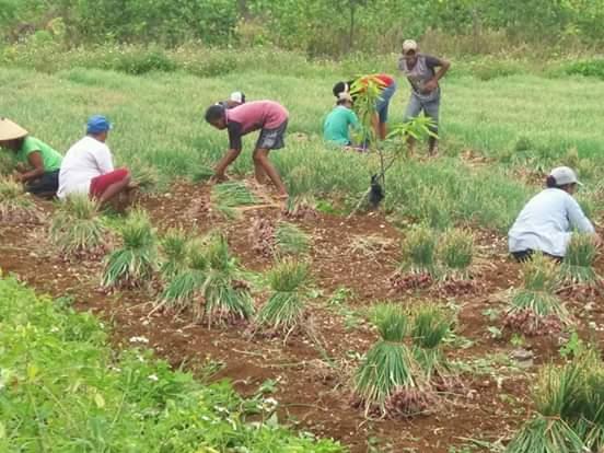 Hail produksi petani bawang merah Abean Raya Malra