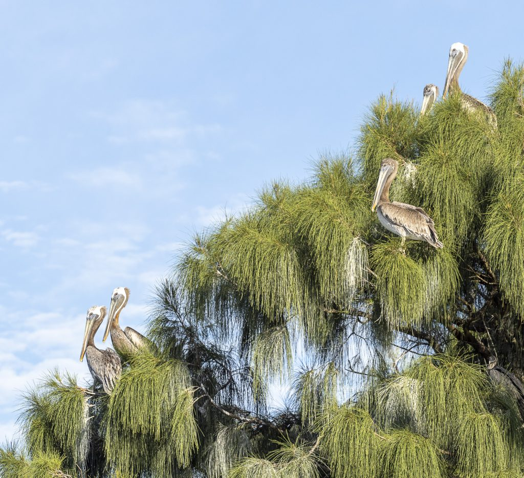 Pelicans at Greater Byrd Island