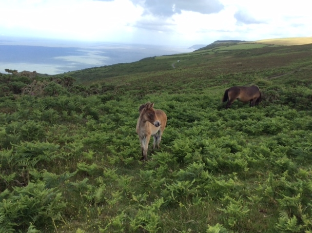 Exmoor foal