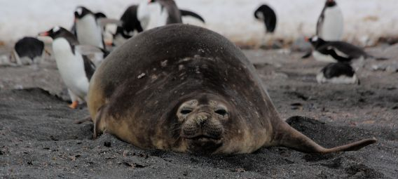 Fat seal Antarctica