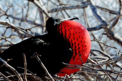 red throated frigate bird Galapagos