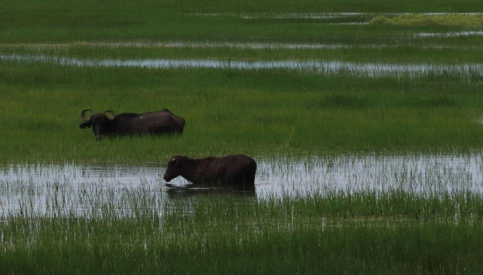 Amazon buffalos