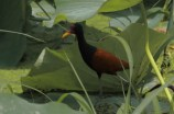Suriname birds
