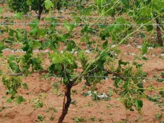 Las pedanías de Los Cojos y Los Isidros (Requena) han sufrido daños que pueden alcanzar niveles de hasta el 90% de afección, especialmente en el cultivo de la viña.