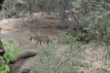 Mexican Wolf at Arizona-Sonora Desert Museum