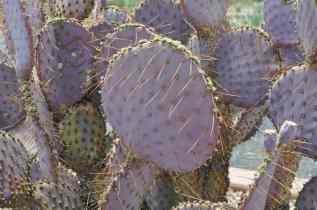 purple cacti at Coyote Creek Tucson
