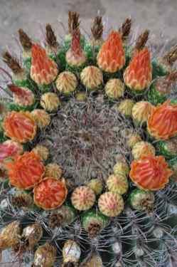 cactus in bloom at Morris K Udall Park
