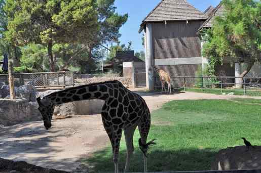giraffes-at-Reid-Park-Zoo