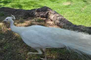 white peacock at Reid Park Zoo
