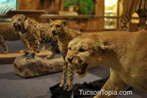 cats at International Wildlife Museum