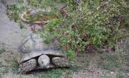 Rocky The Tortoise at Ritz-Carlton Dove Mountain