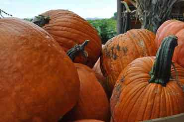 you-pick pumpkins at Apple Annie's