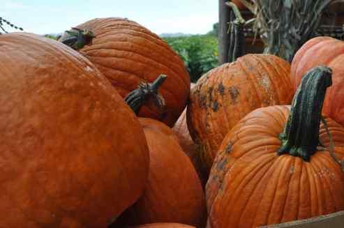 you-pick pumpkins at Apple Annie's