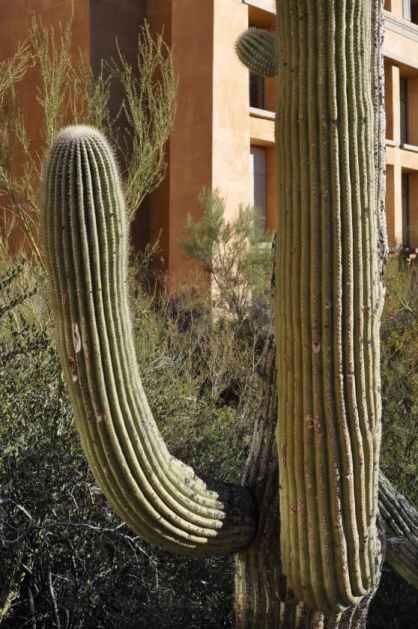 saguaro at JW Marriott Tucson Starr Pass