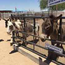 donkeys at Rooster Cogburn