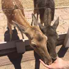 feeding deer at Rooster Cogburn Ostrich Ranch