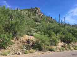 cactus at Sabino Canyon