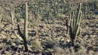 saguaros-tumamoc-hill