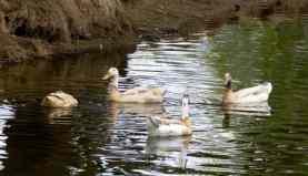 ducks Fort Lowell Park
