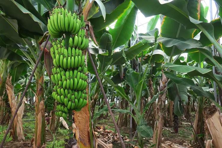 Ein Baum mit fast reifen Bananen steht in eine Gewächshaus.