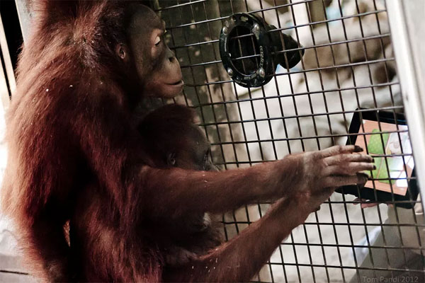 orangutan tinder tablet