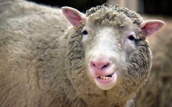 ¿Qué pasó con la clonación? Dos décadas después de la oveja Dolly