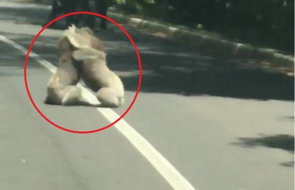 El video viral de los koalas peleándose que arrasa en Facebook