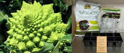Broccolo är en korsning av broccoli och blomkål som odlats i Italien i flera hundra år. I Sverige har den funnits hos fröfirmorna i några år. Tuffa Tider skall försöka sig på sådd, odling och skörd och följer framstegen i en dagbok.