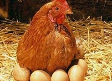 galinha-002-660x330