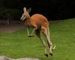 Tuğşah Bilge – Kanguru.