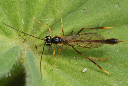 Sluipwespje. Een andere soort uit de onderfamilie Anomaloninae. Familie Gewone sluipwespen. Ichneumonidae.