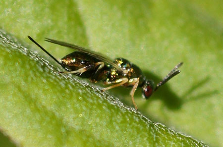 Bronswesp, Chalcidoidea Familie Torymidae
