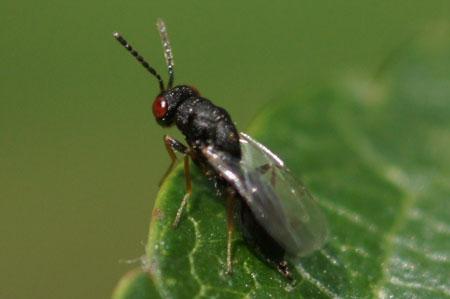 Bronswesp uit de familie Pteromalidae.