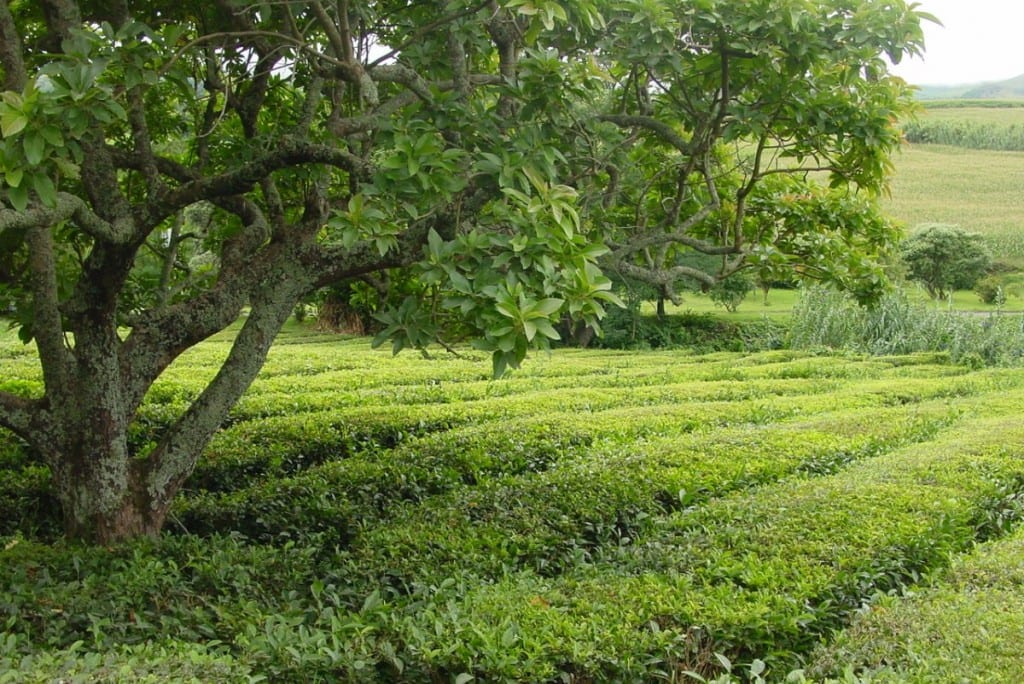 Thee-plantage op Sao Miguel