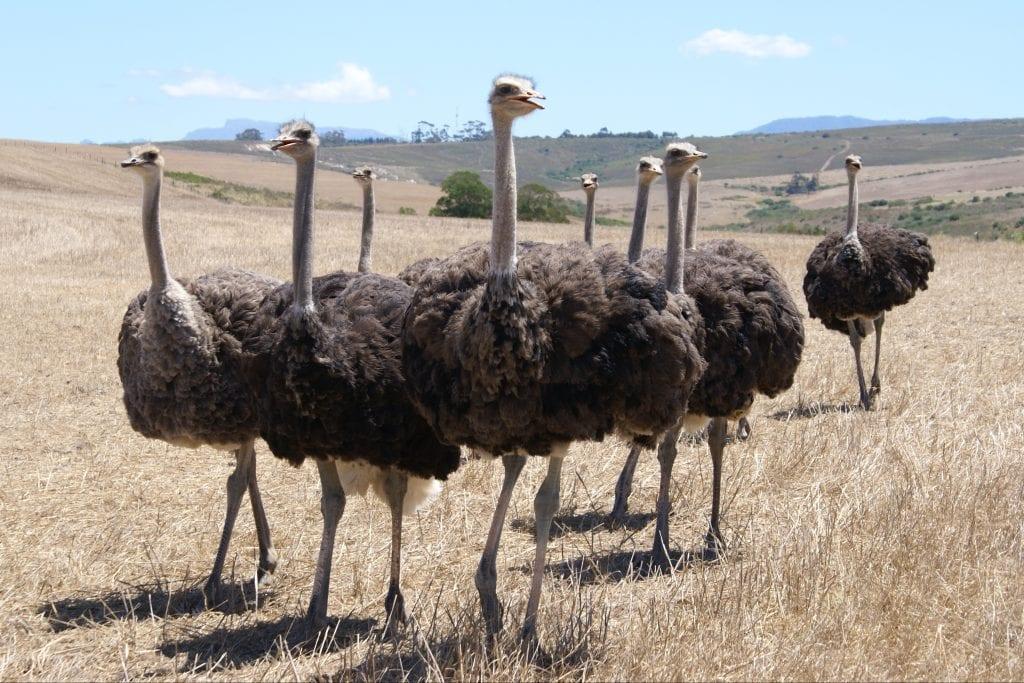 Struisvogel farms in Oudthoorn