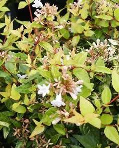 Abelia francis mason