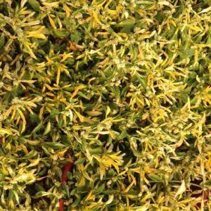 Alternanthera yellow