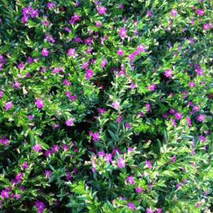 Cuphea mauve
